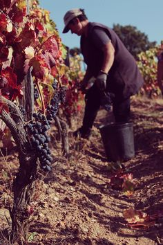 The harvest of our grapes just finished! Let us share with you some moments of our traditional procedures. We pick with dedication and passion only the best grapes that nature has to offer, aiming for top quality tastes. #CVRTM #trásosmontes #euprovotrasosmontes