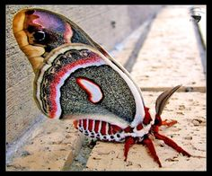 ✿ Beautiful Cecropia Moth ✿