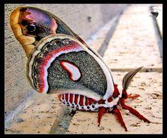 ✿ Beautiful Cecropia Moth ✿
