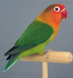 vogeltjes parkietjes - Google zoeken