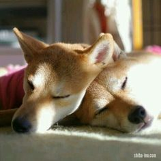if the love is real, no storm she is not afraid, they are just together and they are in deep love ♡ Marley Dog, I Love Dogs, Cute Dogs, Japanese Dogs, Mini Dogs, Sleeping Dogs, Cute Little Animals, Pet Collars, Shiba Inu