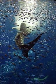 Whale Shark feeding.jpg by OrigamiKid, via Flickr