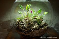 Here is my BiOrbAir terrarium in the final stages of planting, I've now added three new miniature orchids to this terrarium and some new moss, which will grow alongside my existing ferns and miniature orchids.