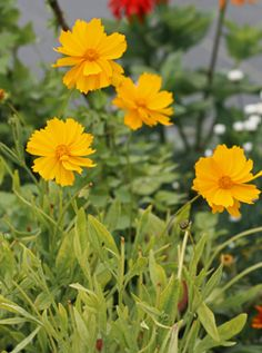 Item ID: 3438  Genus: Coreopsis  Plant Lists: Deer Resistant, Bee Plants, Drought Tolerant, Long Blooming, Plants For Cutting, Wild Life, Butterflies  Plant Type: Flowering