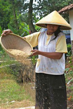 Harvesting rice outside Jakarta, Indonesia