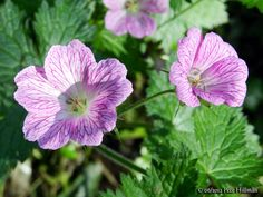 http://www.lightscapes.info/onewithnature/wp-content/uploads/2013/05/Pencilled-Cranesbill-Geranium-versicolor-06.jpg
