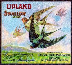 Upland Swallow Bird Orange Citrus Fruit Crate Label Art Print