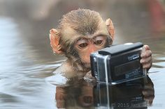 Baby snow monkey taking a selfie in Nagano, Japan by Jack Reynolds. Small Monkey, Monkey See Monkey Do, Animals And Pets, Funny Animals, Cute Animals, Selfies, Baby In Snow, Baboon, Animal 2