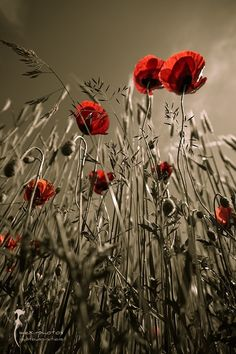 Unknown, Red Poppies on ArtStack Wild Flowers, Beautiful Flowers, Pics Art, Red Poppies, Nature Pictures, Beautiful World, Simply Beautiful, Mother Nature, Color Splash
