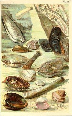 1890 Marine Life Mussel Oyster Shell Antique Chromolithograph Print P Kuckuck