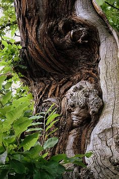 Druids Tree with Natural made Face Mother Earth, Mother Nature, Weird Trees, Tree People, Tree Faces, Unique Trees, Old Trees, Nature Tree, In The Tree