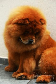 Chow Chow.... haha the look... hmmm... itchy foot... that's hard to reach around my fat belly and fluff... itchy foot... ... ... ...