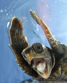 Screaming Turtle! by echeng, via Flickr   Eric Cheng   Juvenile loggerhead turtle (Caretta caretta). (West Palm Beach, Florida)    This was a turtle that was rescued by researchers after not making it out of its nest. After being raised for a bit in captivity, we released them into the wild. This was its first moment in the ocean.