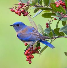 WESTERN BLUEBIRD DECLINE - Western Bluebirds are declining, victims of habitat loss & displacement by introduced species. Bluebirds face many threats—the same ones that are driving many bird species toward the brink. Suburban sprawl along the West Coast is eating up bluebirds' woodland habitat. Introduced species like house sparrows compete for the tree cavities where bluebirds prefer to nest. It is one of dozens of familiar bird species headed for trouble. (Audubon Action, 7/9/2013)