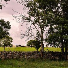 Cattle farm in Co. Clare, Ireland  #limerick #ireland #irish #street #limerickstreet #Cattlefarm