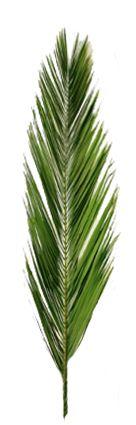 Eche, konservierte Palmwedel / Palmenzweige. Von großen Palmen geschnitten. Dauerhaft haltbar. Einzeln im Onlineshop bei www.palmen24.de erhältlich.