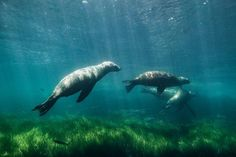 #SEALIONS PLAYING by  Christian Göran  #Photocircle #naturephotography from the #USA #UnitedStates #coastal #SanDiego #underwater #underwaterphotography #animalphotography #nature #ocean #animals #blue #green #photoart #wallart #homedecor  #Closethecircle - if you buy this photo Christian Göran and Photocircle #donate 8% to provide communities in #Bolivia with better social infrastructure