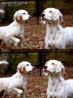 Two English Setters http://www.cynditpets.com/?p=528