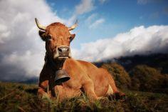 Suzie the Tarine Cow. Original Title: Suzie la Vache Tarine