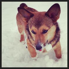 Corgis love frolicking :) my baby Marlin's first snow!