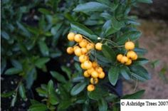 Soleil d'Or Pyracantha is an evergreen screening and hedge plant with clouds of creamy flowers in early summer and masses of gold berries into winter. Hedges, Garden Plants, Evergreen, Berries, Nursery, Clouds, Landscape, Planting, Climbing