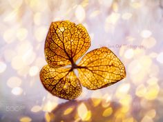 Get Closer 07 - Dried hydrangea in macro with light bokeh scattering around.  Featured on 500px ISO : https://iso.500px.com/31-incredibly-captivating-flower-photos-by-wei-san-ooi/?utm_source=500px&utm_medium=social&utm_campaign=apr15_630PM_30-31-incredibly-captivating-flower-photos-by-wei-san-ooi www.facebook.com/wsooi  www.twitter.com/WeiSanOoi  https://instagram.com/wsooi/