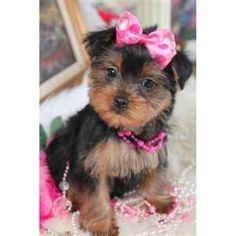 Toy Yorkies. We have a baby named Gracie and we love her dearly