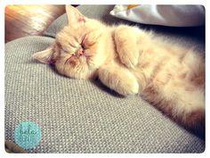Exotic shorthair kitten taking a nap