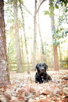 Black Labrador Retriever-- best dogs in the world..