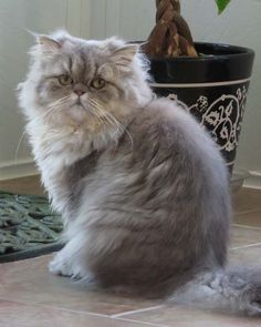 A rare blue golden Shaded Silver Persian from Mythicbells Persian Cats & Kittens