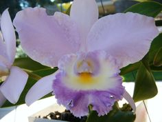 Cattelya, ready for a corsage Corsage, Hummingbird, Orchids, Plants, Flowers, Hummingbirds, Flora, Plant, Orchid