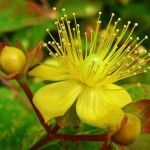As an herb plant, the oil in the leaves have been used topically for wounds, sunburns, and general aches and pains. St John's Wort herb has also been used to treat mild depression and insomnia wit