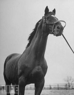 Man O War at age 30 - every inch a racer.