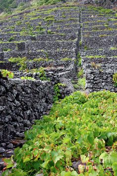 Vineyards In Azores Islands  Portugal