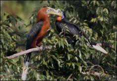 Rufous-necked Hornbills