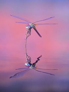 Dragon´s dreams by Antonio Diaz Reflection Photography Dragonfly Insect, Dragonfly Tattoo, Dragonfly Painting, Flying Insects, Bugs And Insects, Reflection Photography, Macro Photography, Dragonfly Photography, London Photography
