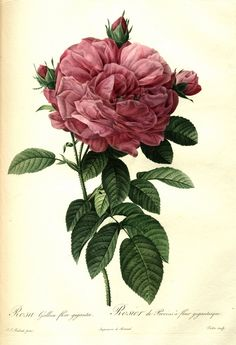 P. J. Redouté, 1824 - Rosa gallica flore giganteo