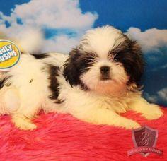 Shih Tzu puppy - CeCe
