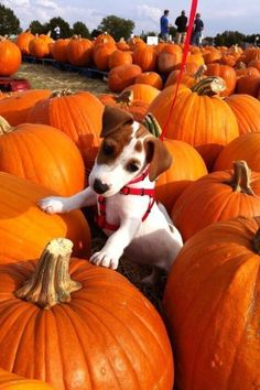 Jack Russell Puppy & Pumpkins by Texas Favorites & Country Treasures Jack Russell Terriers, Chien Jack Russel, Jack Russell Puppies, Cute Puppies, Cute Dogs, Dogs And Puppies, Doggies, Dachshunds, Fall Pictures