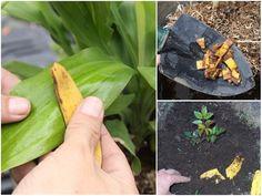 Egy teáskanál cukrot szórt a növények földjére mielőtt megöntözte, azóta rengeteg virágot hoznak! - Bidista.com - A TippLista! Kustom, Planting Flowers, Zucchini, Vegetables, Gardening, Plant, Lawn And Garden, Vegetable Recipes, Veggies