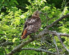 Brentwood resident spots red-tailed hawk - Brentwood Home Page