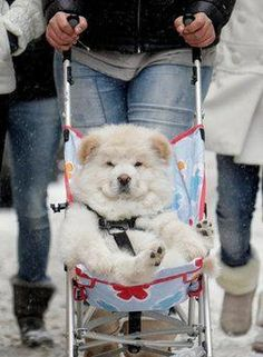 Malamute Husky Mix going for a free ride in a stroller