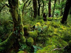 lush with ferns and mosses, fiordland national park, new zealand