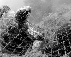 A sea turtle stuck in a trawling net.  The turtle will be thrown back into the water either dead or dying as part of the bycatch.