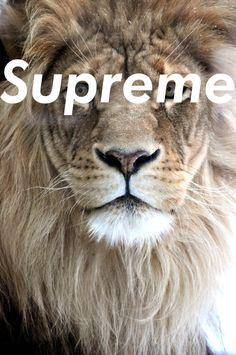 Supreme Most Beautiful Animals Beautiful Cats Beautiful Creatures Majestic Animals Beautiful Images