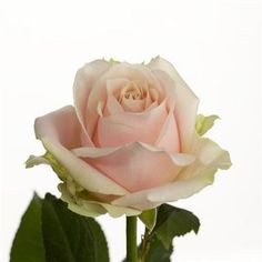 Sweet Avalanche Roses are pale pink & usually available all year round. 70cm stem lengths this wholesale cut flower is wholesaled in 20 stem wraps.