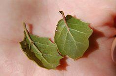 Τα φύλλα δάφνης χρησιμοποιούνται σε παραδοσιακές συνταγές όπως φακές και γενικά στα όσπρια, ακόμα και στα τουρσιά και τις πίκλες. Ωστόσο, πέρα από τη γεύση