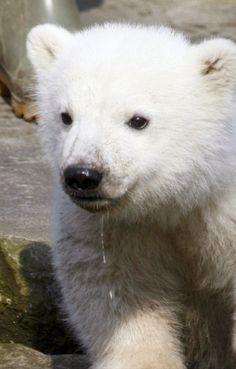 #polar cub drooling..  /pin/314337248961273427/