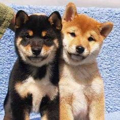 """21 Shibas Who Would Like You To Stop Calling Them """"Doge"""""""