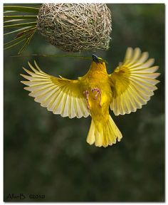The Yellow Weaver - Ploceus megarhynchus, is endemic to the northern Indian Subcontinent. Photo by Allan Beatie.